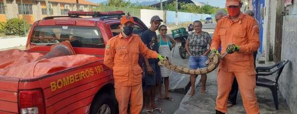 Bombeiros resgatam cobras tipo Jiboia em Maracanaú e Pacatuba