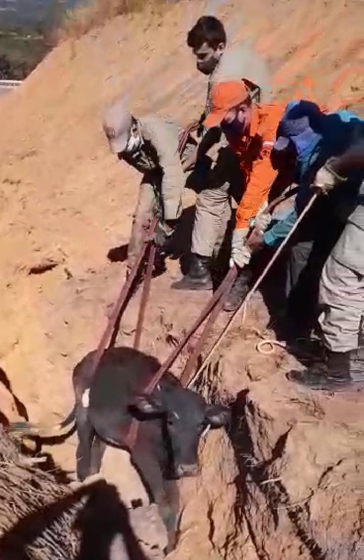 Bombeiros resgatam bezerro que caiu em vala no Crato