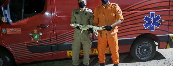 Corpo de Bombeiros resgata réptil jacaretinga de um metro em Crateús