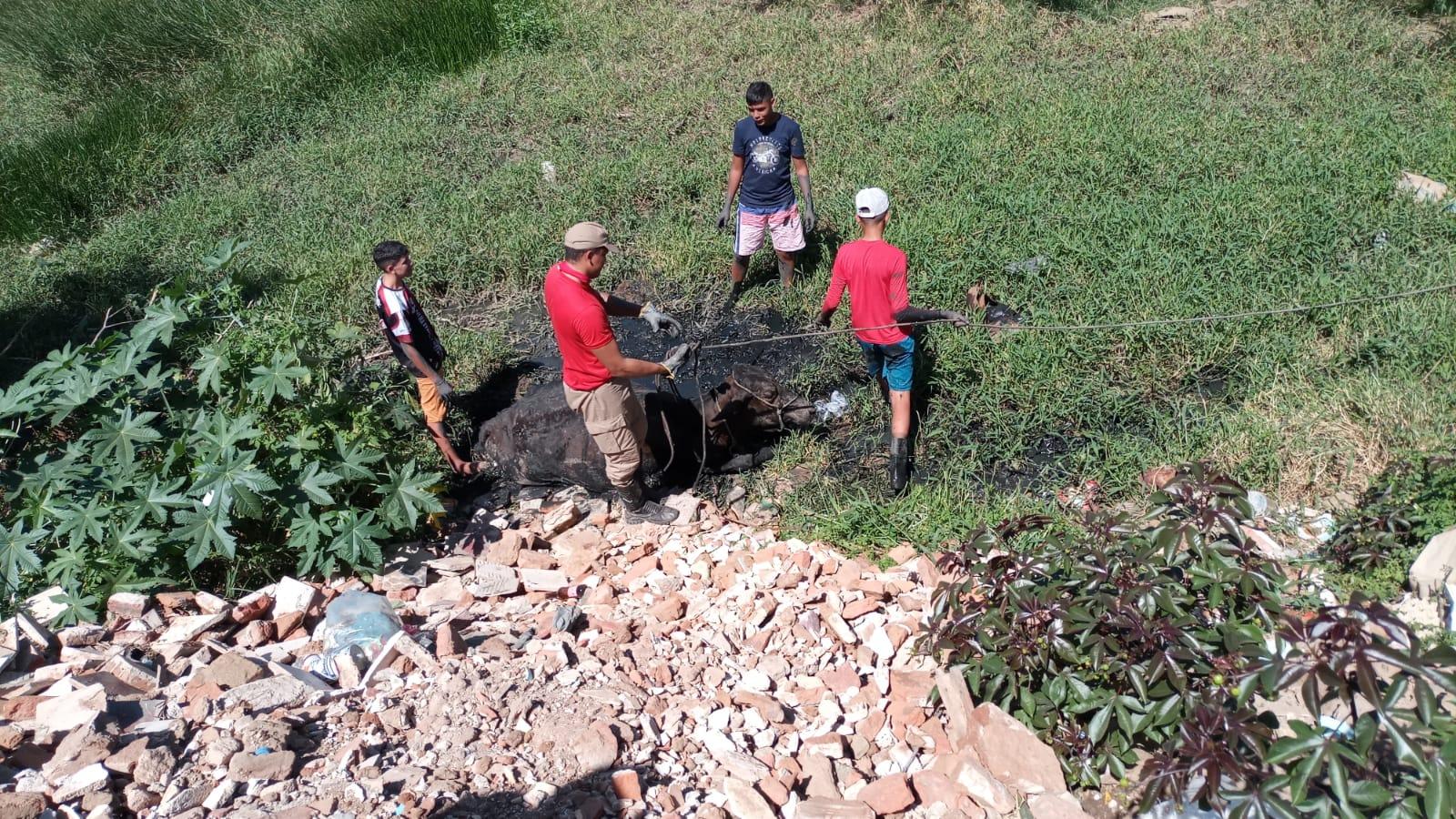 Corpo de Bombeiros resgata vaca de 200 Kg que ficou presa em lamaçal